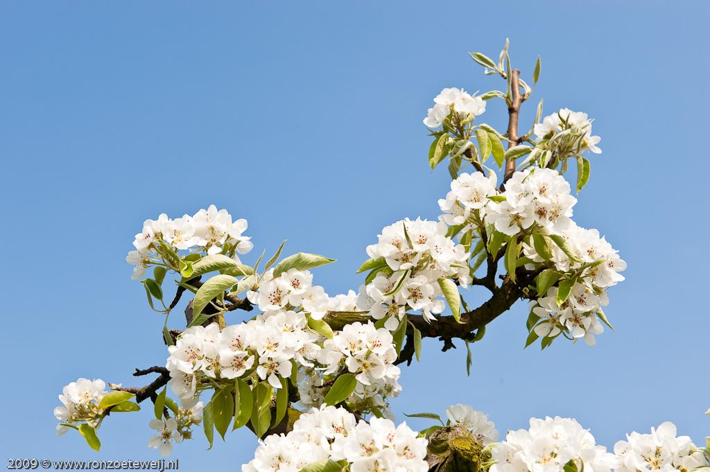 appeldijk bloesem